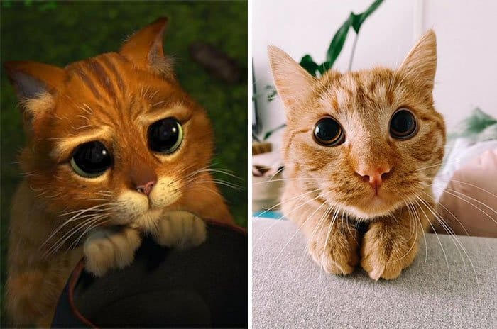 """Домашний кот научился повторять мимику Кота в сапогах из """"Шрека"""" и перед ним нельзя устоять!"""