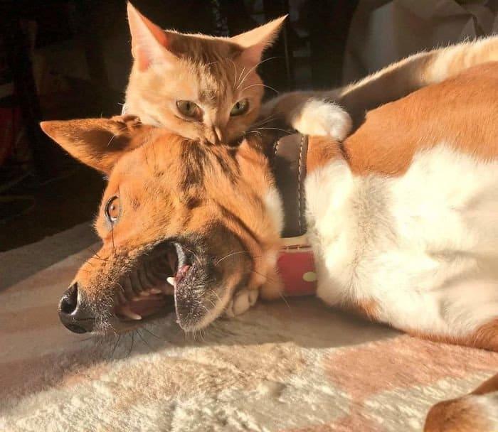 33 фотографий странных отношений кошек и собак