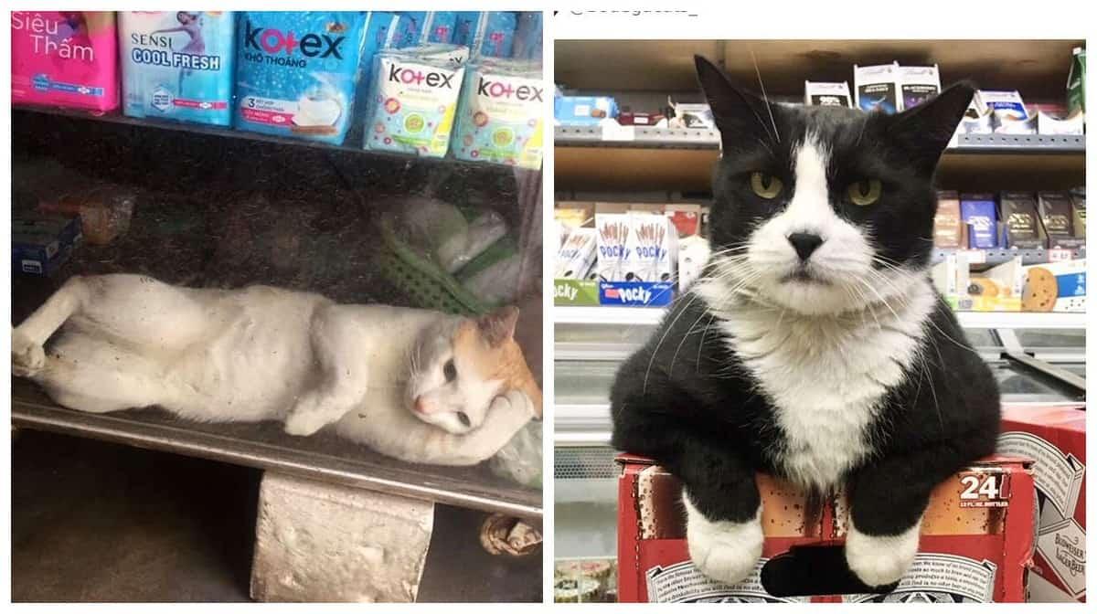 25 магазинных котов, всем своим видом показывающих кто в лавке главный