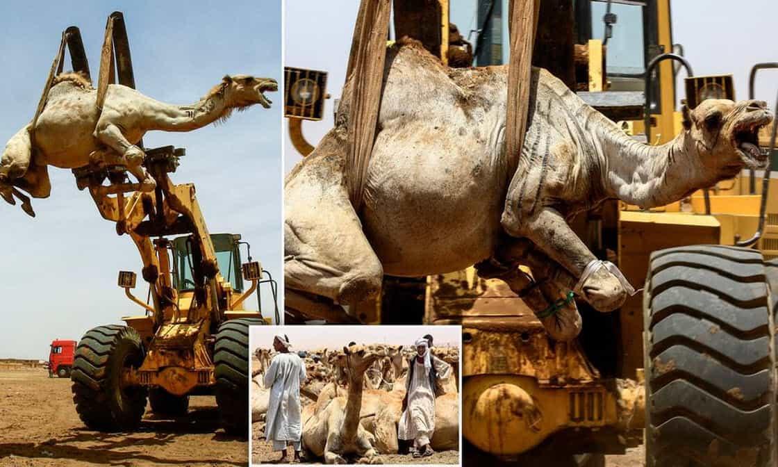 Ежегодный рынок верблюдов в Судане (16 фото)