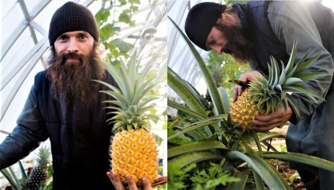 Монахи Валаама собрали очередной урожай ананасов