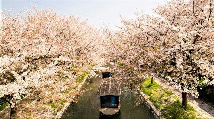 В Японии наступил пик цветения сакуры
