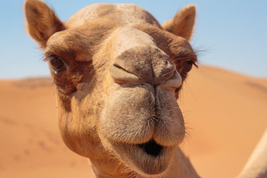 15 дремучих заблуждений, в которые пора перестать верить и про верблюда