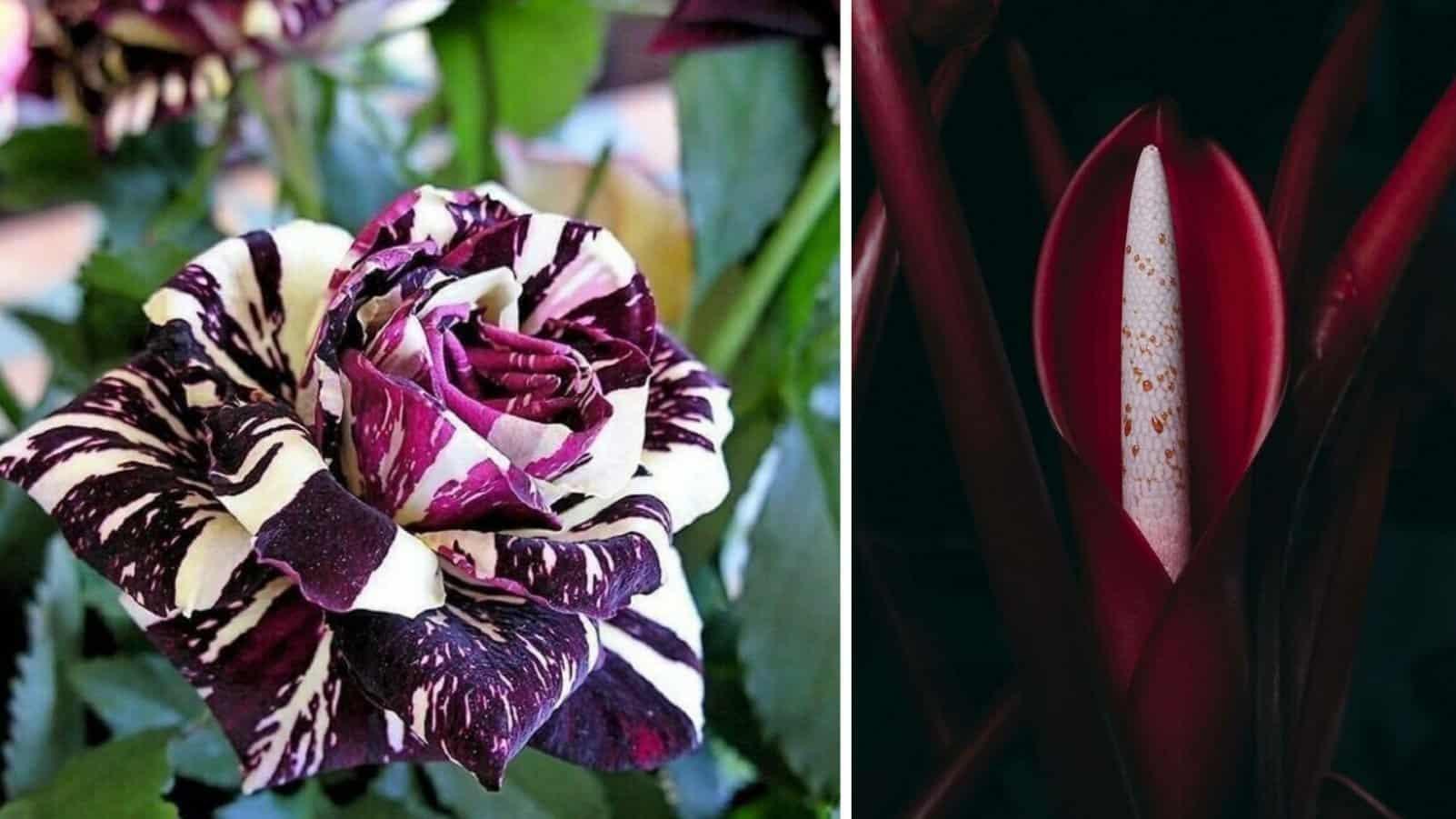 Идеальный георгин, гибридная роза и другие невероятные растения планеты