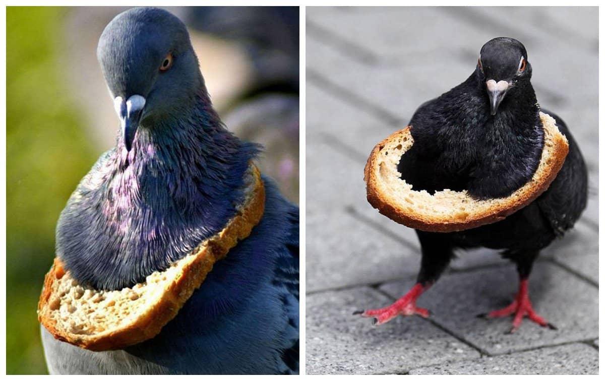 Хлебное ожерелье - аналог золотой рэперской цепи среди голубей