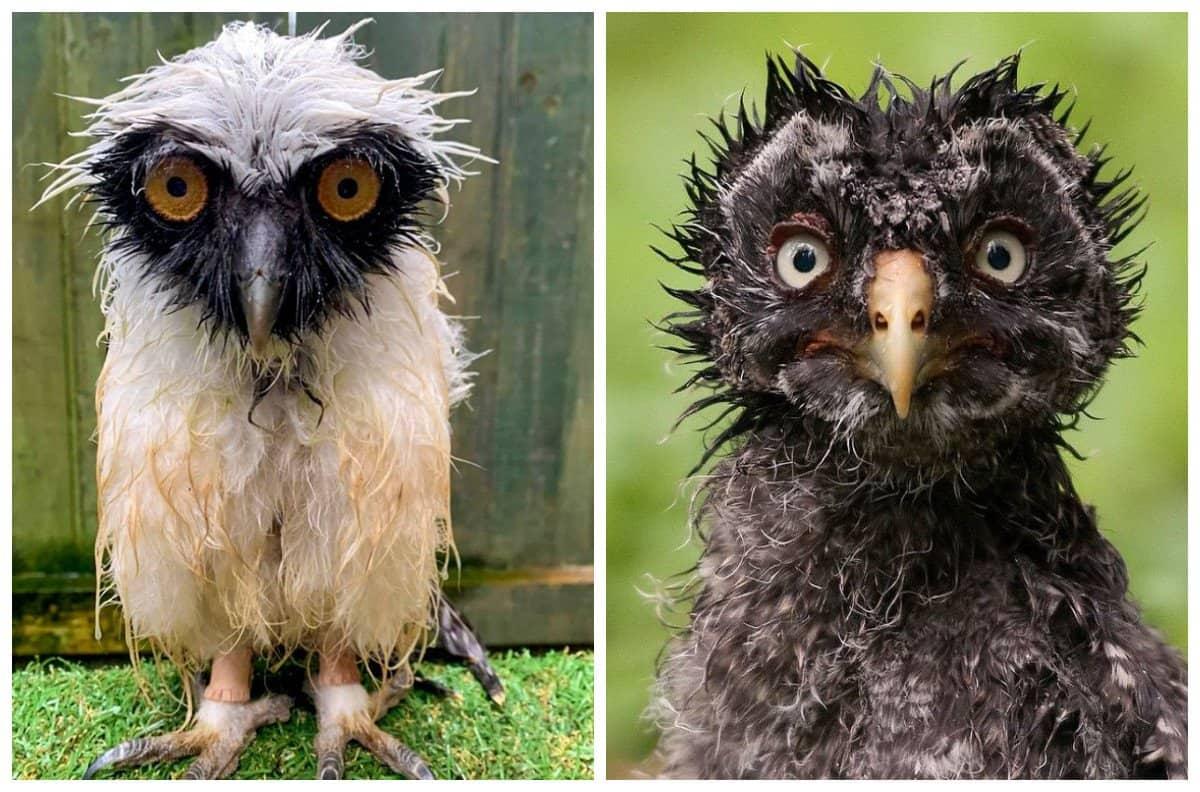 Мокрые совы уморительно возмущены