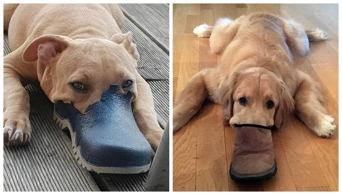 Новая порода собак: уткопес - скоро в вашей квартире!