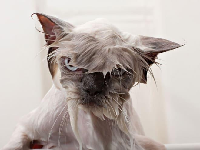 Коты, которые замышляют ваше убийство после купания...