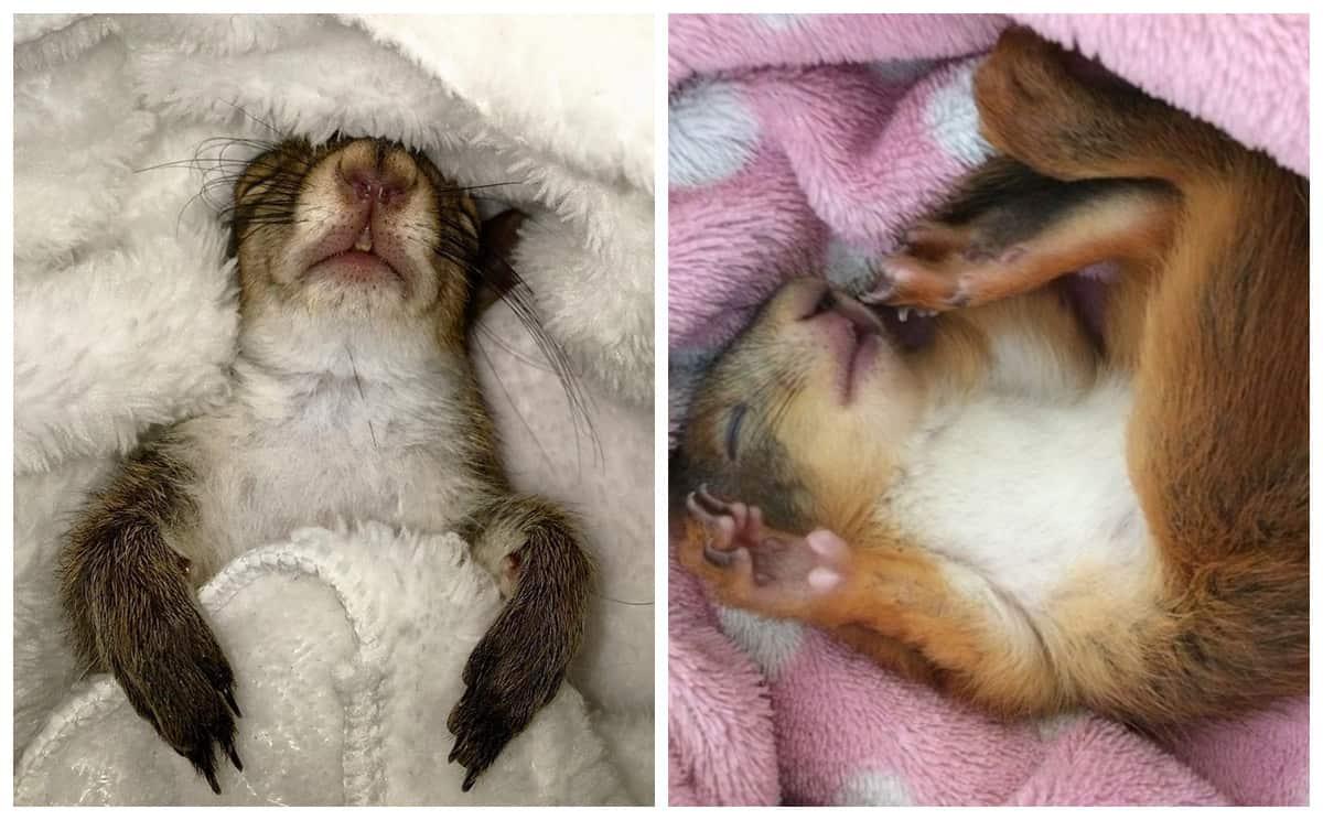 Спящие красавицы: белки, заснувшие на спине, выглядят очаровательно!