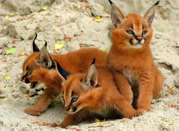 Каракалы- пожалуй, самые красивые кошки в мире
